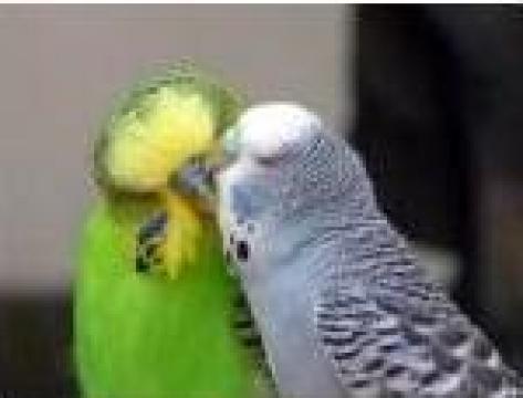 Papagal Perus de la Tetrazona S.r.l