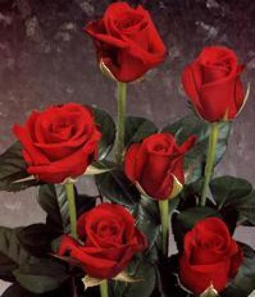 Butasi trandafiri de la Hobby Plant Srl-d