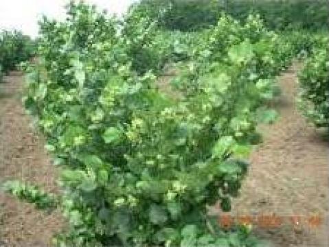 Puieti de alun la ghiveci de la Pomi Fructiferi, Arbusti, Vita De Vie
