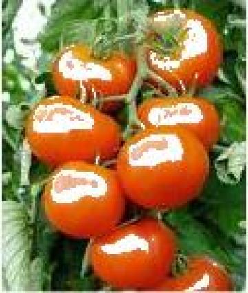 Rasaduri tomate / rosii de la Imd Horticulture Systems Srl
