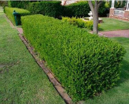 Arbusti Buxus,Tuia, gard viu, mur, zmeura, vita de vie de la