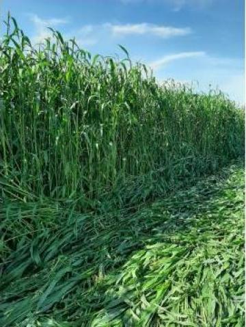 Sorg si iarba de sudan hibrid seminte